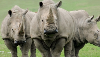 'All you need is neushoorn-love' in GaiaZOO