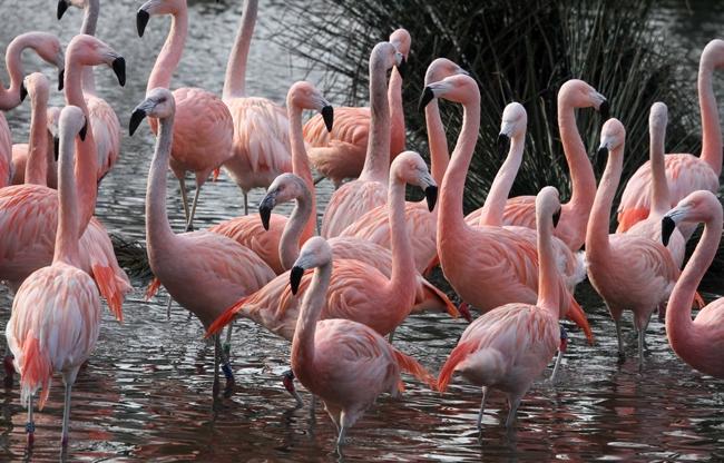 Chileense flamingo's