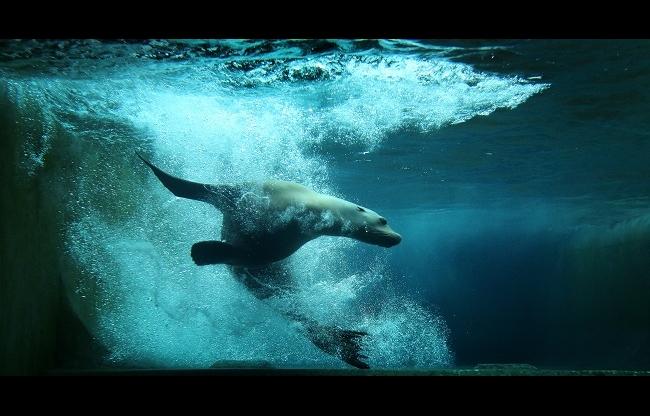 Californische zeeleeuw